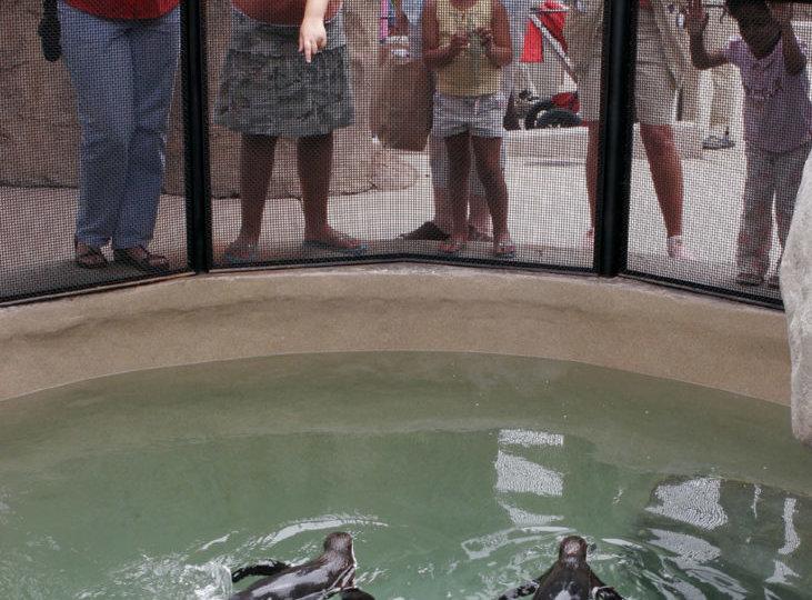 Santa-Barbara-Zoo-Penguins-credit-Ana-Elise-Fuentes-731x1024