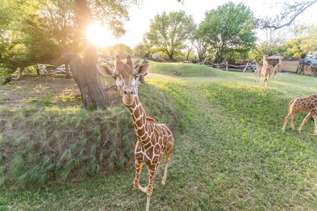 Fort Worth Zoo giraffe