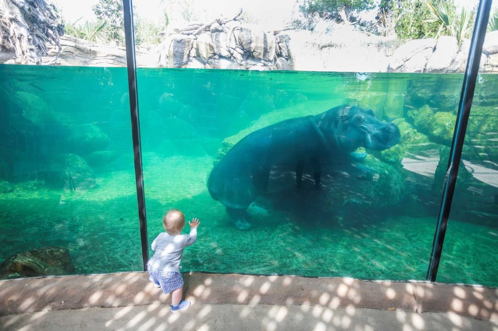 Fort Worth Zoo hippo with child at the glass