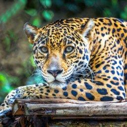 Fort Worth Zoo Jaguar